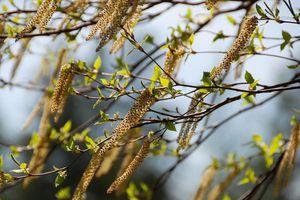 Haïkus : Le pollen