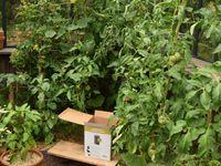 Taches claires sur les feuilles, taches brunes sous les feuilles : la cladosporiose s'attaque à mes tomates !