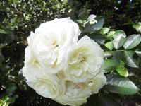 'Jeanne Moreau' - 'Annapurna' - 'Champollion'