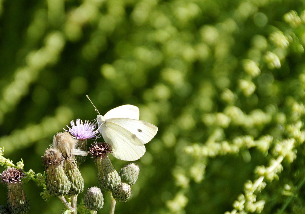 Une petite collection de Papillons