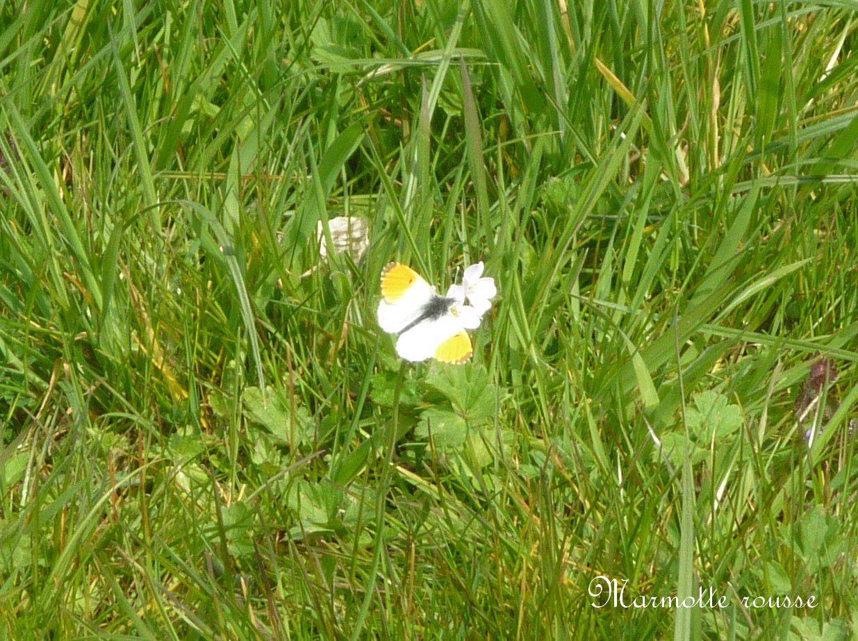 Première photo du papillon Aurore.