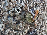 Quelques peaux épineuses bien connues : Etoile commune, Etoile glaciaire, Oursin vert