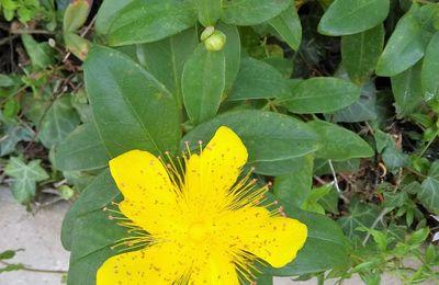 la plante du mois : le millepertuis