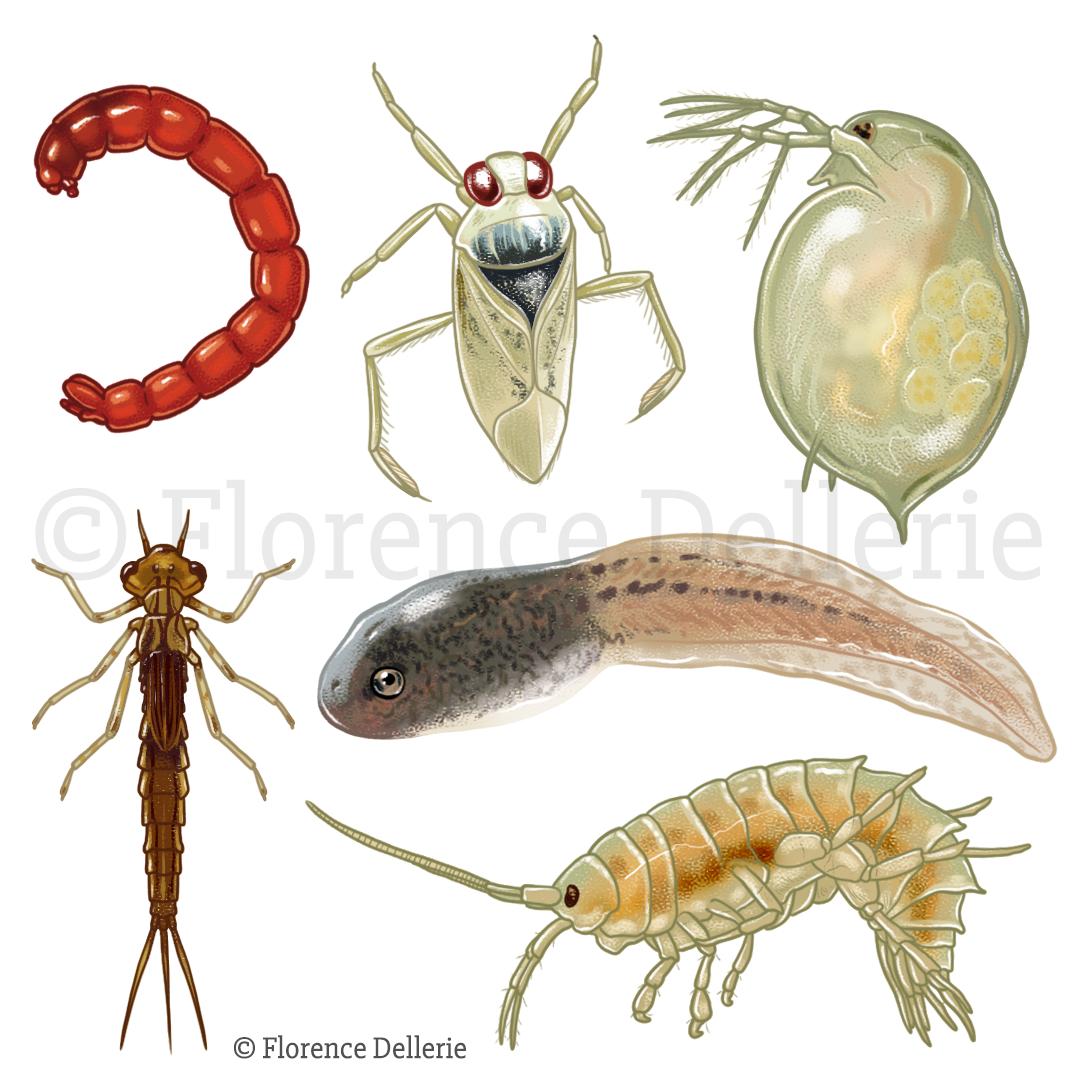 Illustrations naturalistes dans L'Oiseau Mag : animaux de la mare