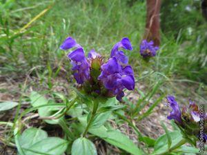 Prunella grandiflora (Brunelle à grandes fleurs)
