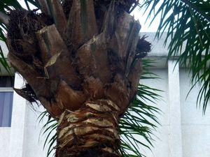 Noix de palmes et palmiers des communes de Kintambo & Mbinza. Photos Ressources du Congo