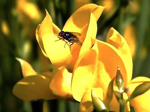 Les étamines et anthères pour charger de pollen le bourdon ou le xylocope. Avec un diptère l'appareil ne fonctionne pas, l'insecte n'est pas assez lourd à quelques milligrammes près.