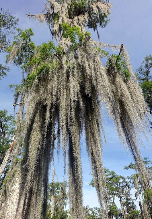 Diaporama : cypress et mousse espagnole