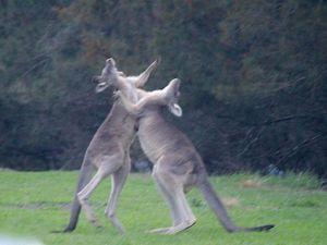 J12 : les kangourous, par Margaux