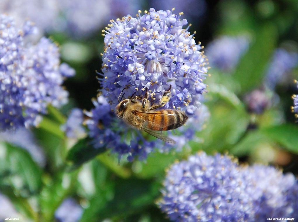 Les yeux proéminents composés de multiples facettes permettent une vision panoramique mais avec un manque de netteté. L'abeille ne distingue pas le rouge.