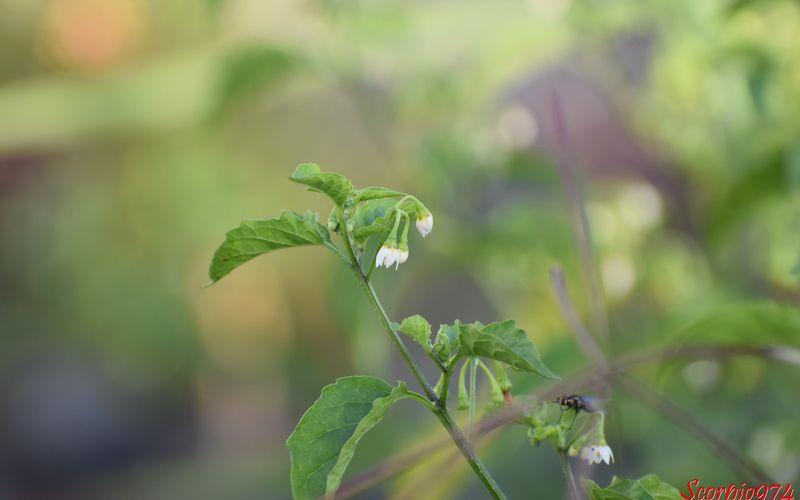 La fleur du Brède morelle (Solanum americanum (Mill., 1768)).
