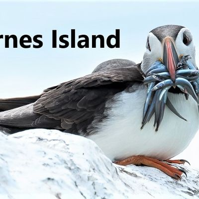 FARNES ISLANDS :  JOURNEE D'OBSERVATION ORNITHOLOGIQUE