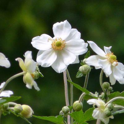 L'anémone du Japon -  'Anemone x hybrida'