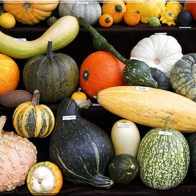 OÙ COURS-JE?  Cucurbi, c'est assez: pâtissons, courges, courgettes, citrouilles, etc...