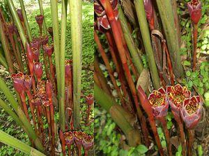 La rose de porcelaine (Etlingera elatior) est une espèce appartenant au genre Etlingera de la famille des Zingiberaceae, originaire de Malaisie. Elle est appelée ginger torch dans les pays anglo-saxons et bastón de emperador (bâton de l'empereur) dans les pays hispanophones.
