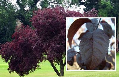 spé-TP3 : Les pigments photosynthétiques de la feuille rouge du prunus