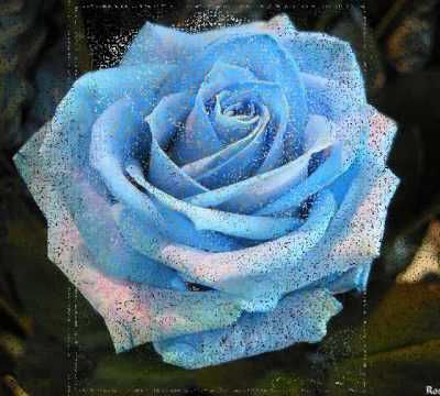 la rose Pierre de Ronsard