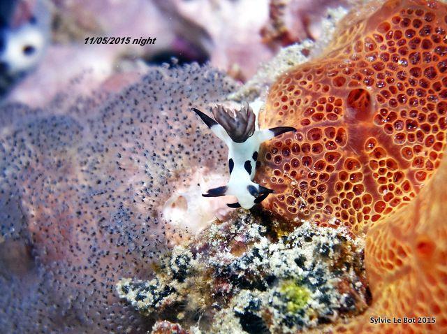 Trapanie dalmatienne-Trapania naeva, rares Nudibranches