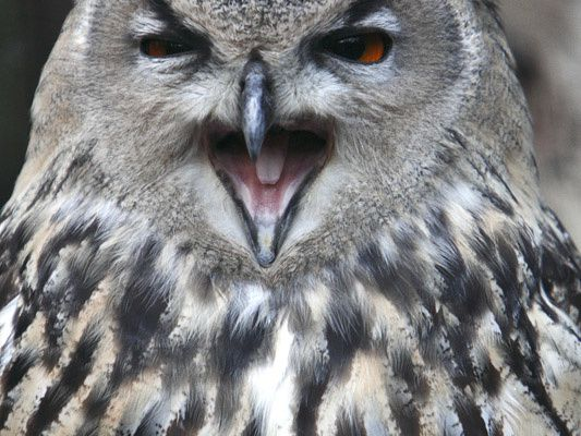 """""""Formation"""" hibou grand-duc"""