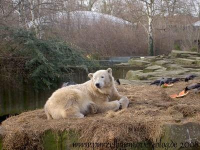 Knut am 17. Februar 2008