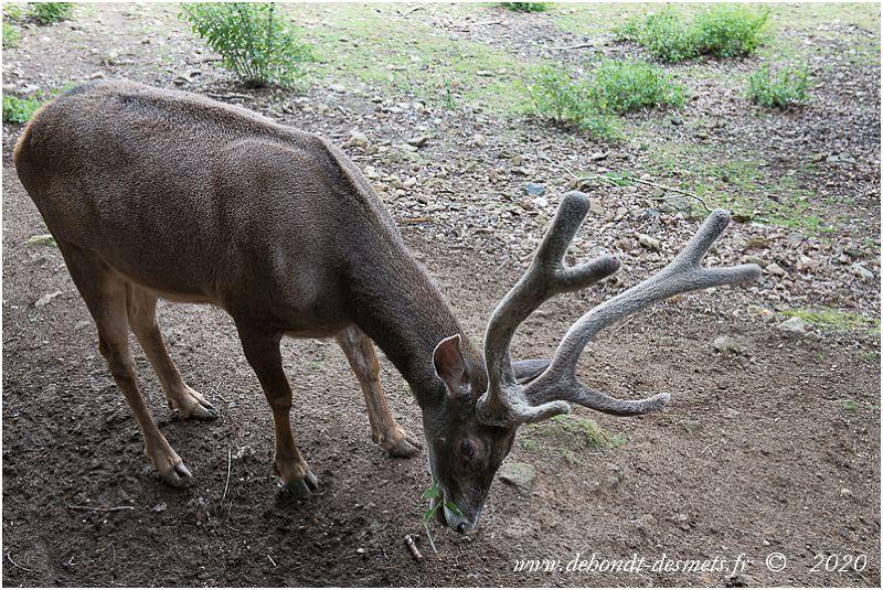 Le cerf de Thorold est un herbivore ruminant comme tous les cervidés.