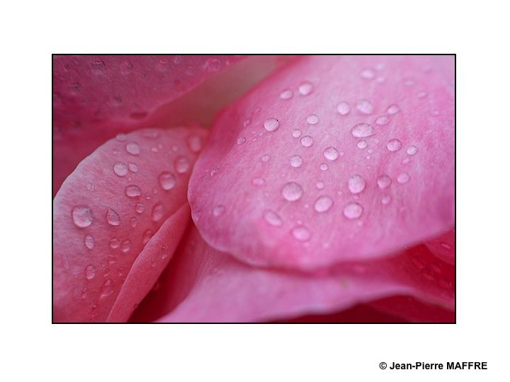 La rosée scintille comme des perles irisées dans le velours des pétales de roses.