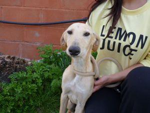 galguito 3 mois a adopter a l'association sos chiens galgos