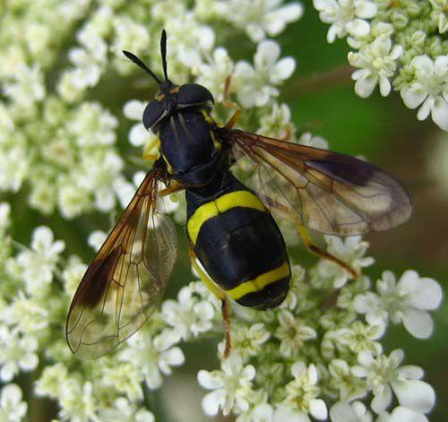 Album - Syrphidae