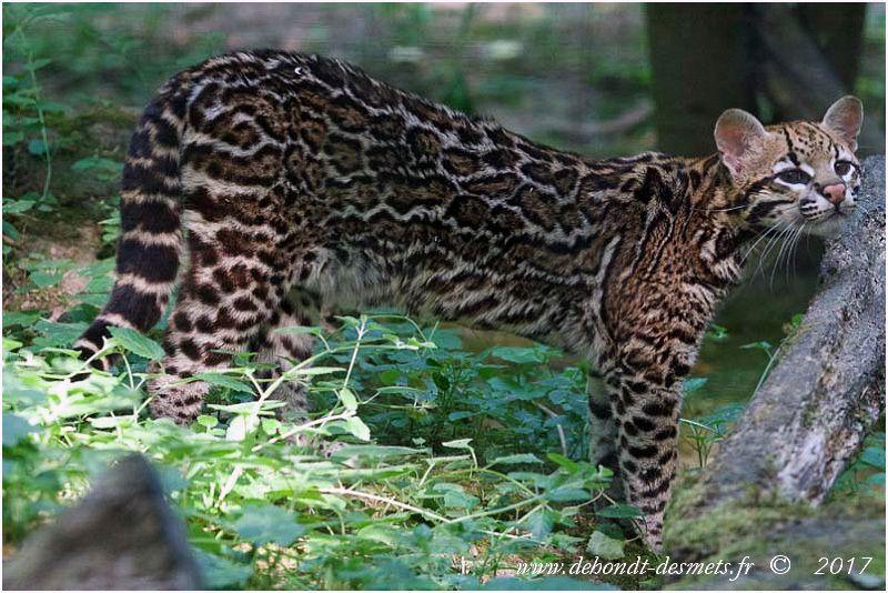 """En Amérique du sud , le margay est aussi appelé """" chat tacheté à longue queue""""."""