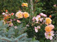 Les rosiers en Ca.