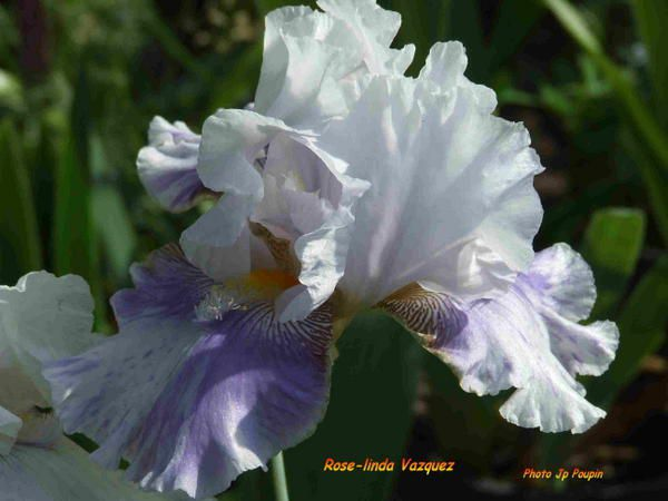 """Cet iris""""broken color""""(à confirmer)est le 1er de cette catégorie à avoir été créé en FRANCE avec en plus une barbe terminée par un éperon,porte le nom de sa créatrice.Il porte des fleurs très variées dans leurs motifs bleu et blanc."""