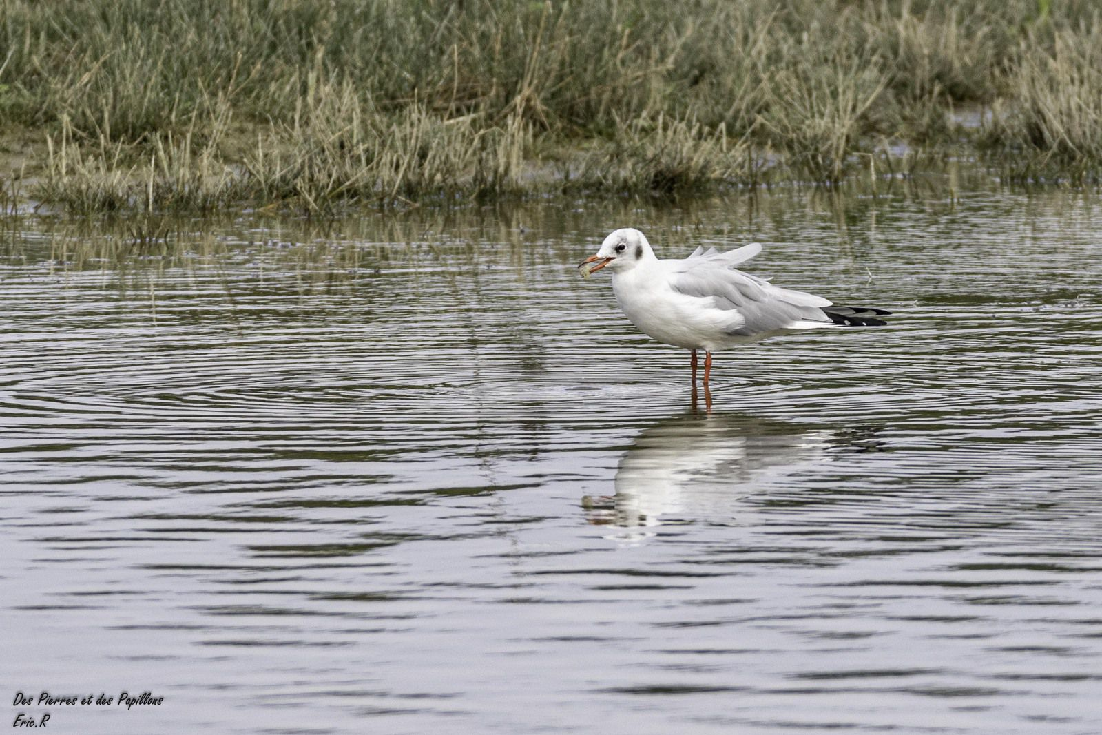 Mouette rieuse - plumage internuptial.