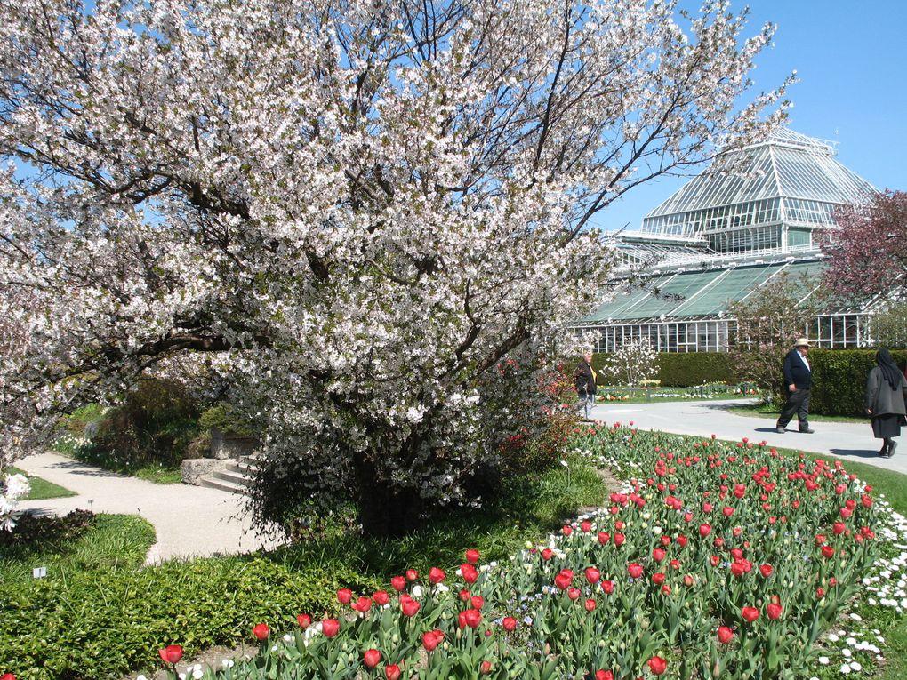 Prunus en fleurs : 6 photos
