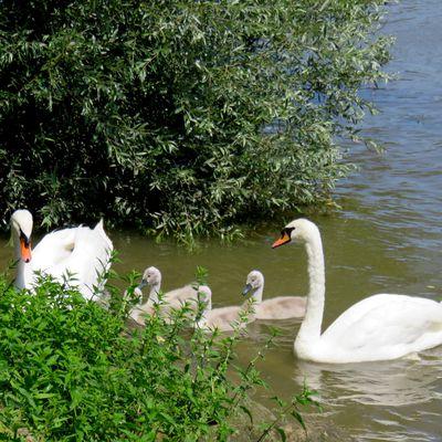 Cygnes du parc Corbière, Le Pecq (Yvelines)