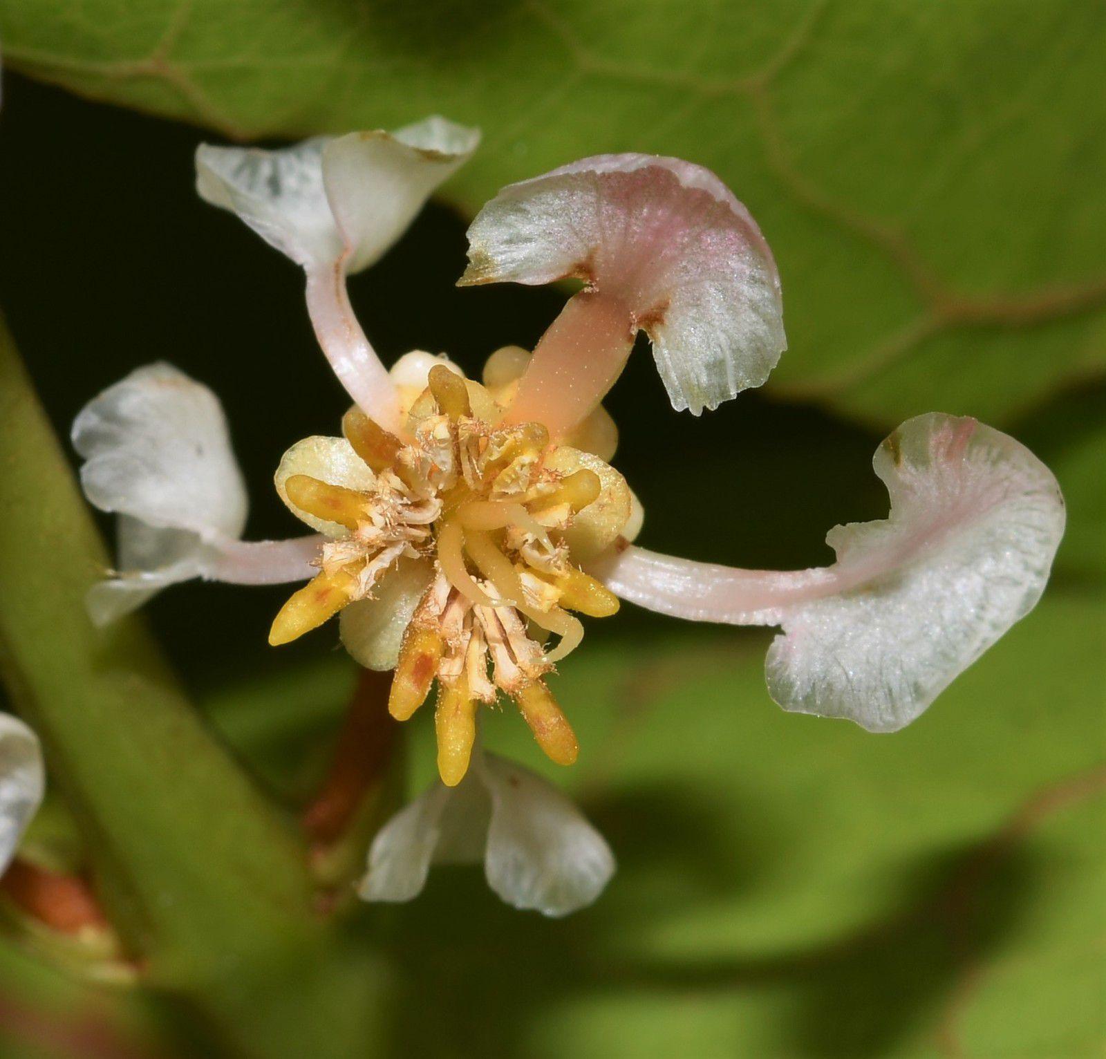 Byrsonima coccolobifolia