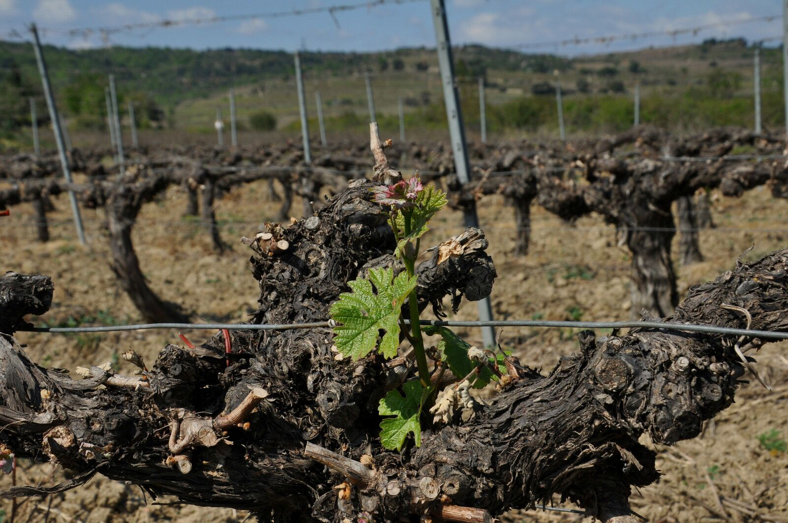 Dans cette vigne il faut bien cherche le vert.