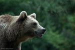 Sans ours, les Pyrénées ne seraient plus que des montagnes