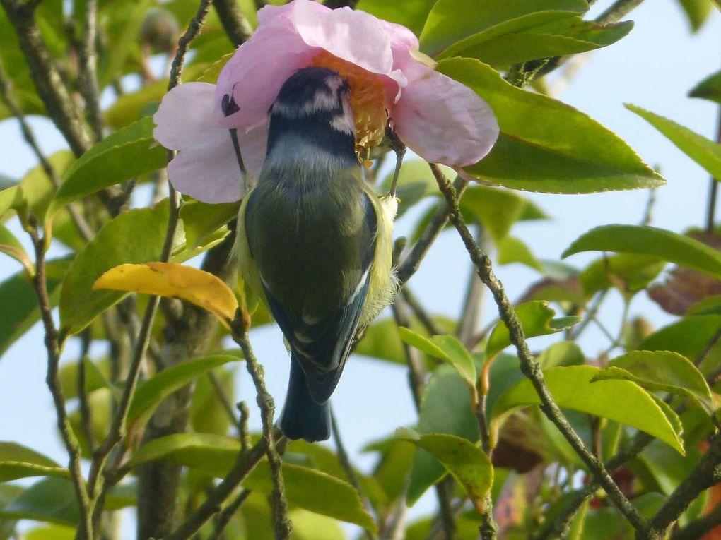 Les pattes sont accrochées au pétale de la fleur du camélia qui résiste bien aux 11g de l'oiseau..