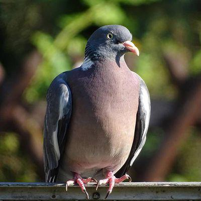Les leçons de deux pigeons ramiers
