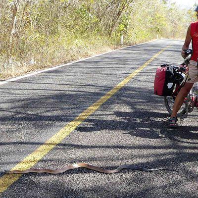Tizimin, Mexique à vélo 26 Mars 2017. Un serpent sur notre route.