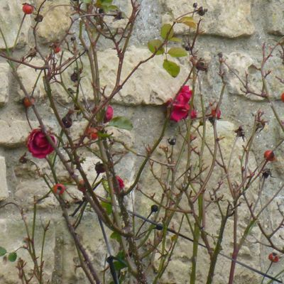 24 heures photo 2021 - 06 : Roses d'hiver