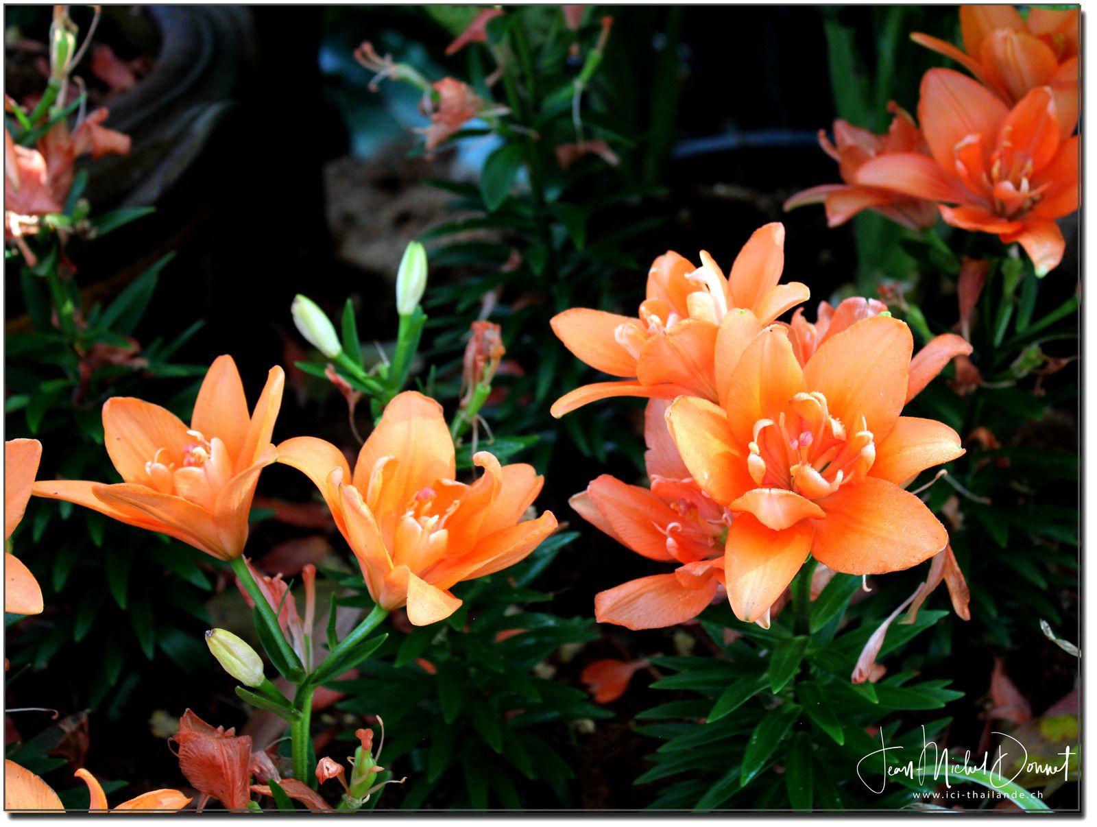 Le coin des orchidées (Floralies Khon Kaen)