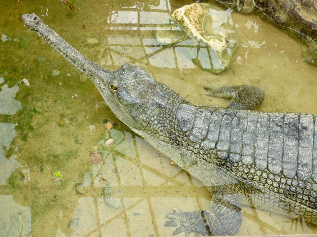 """""""Avec plus de 350 crocodiles, la Ferme aux Crocodiles est devenue le centre de référence européen en matière de présentation, d'élevage et de conservation des crocodiliens : on y découvre dix des vingt-trois espèces de crocodiliens qui existent dans le monde. Certaines espèces comme le gavial du Gange, le faux gavial de Malaisie ou encore le caïman noir sont aussi rares en parcs qu'elles sont menacées dans leur milieu naturel."""" (Sources La Ferme aux crocodiles)"""