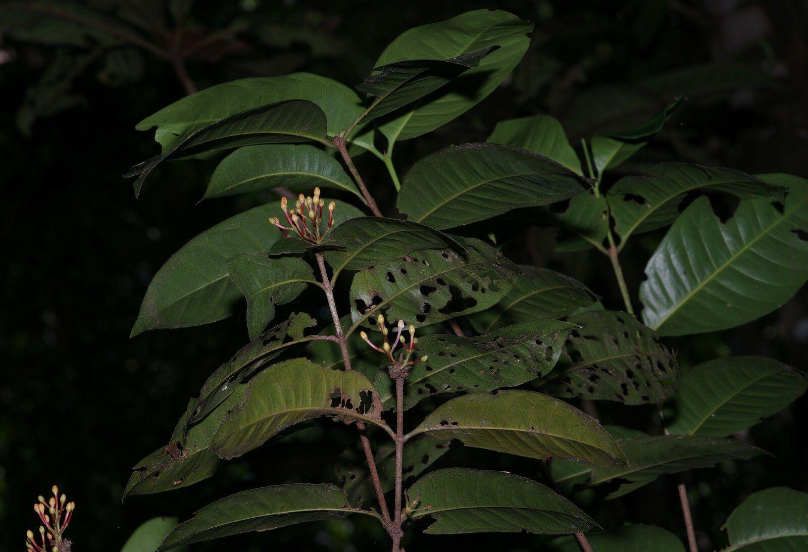 Ixora graciliflora
