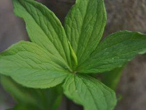 Ces plantes toxiques qu'on aime...Paris quadrifolia/Parisette à 4 feuilles