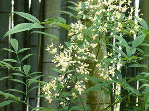 """1 forêt de bambous précédée d'un érable 2 puis précédée de fleurs de """"bambous sacrés"""" blancs"""