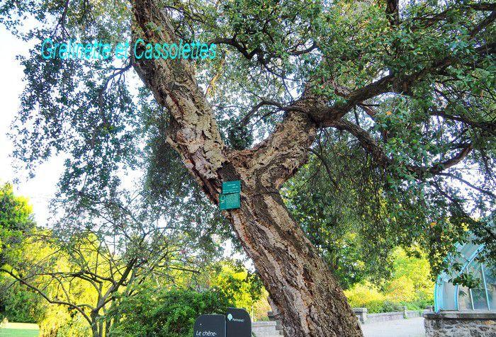 Chêne liège du Jardin Botanique d'Auteuil