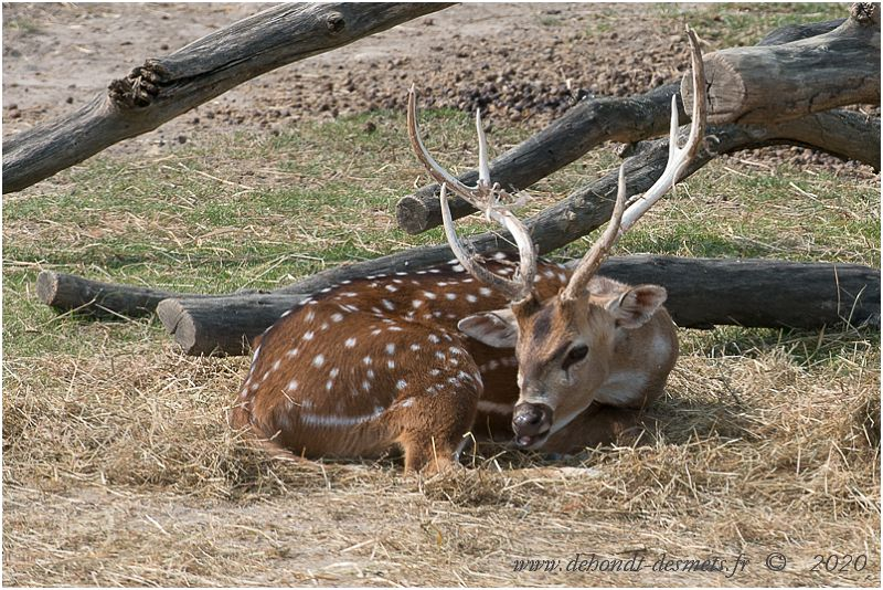L'activité journalière du cerf axis est une alternance de période d'alimentation entrecoupées de période de rumination et de repos