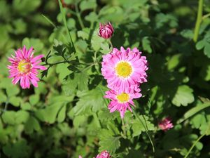 des chrysanthèmes dans le jardin...