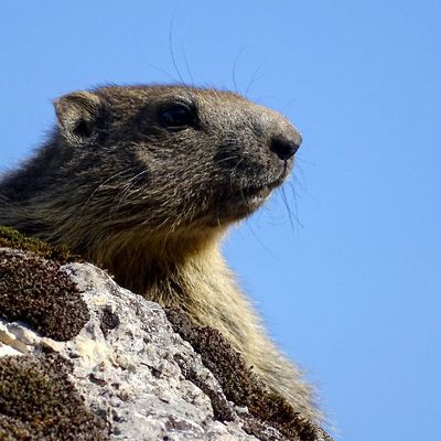Un marmotton sur un rocher - 6 photos
